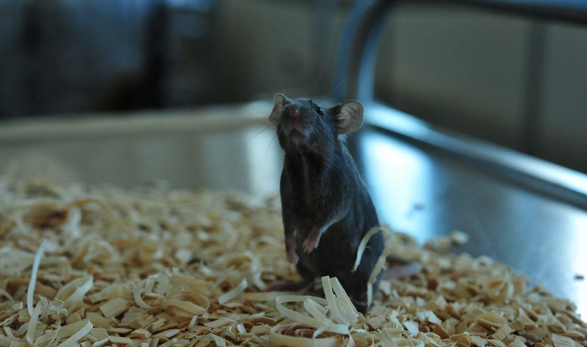 PolyGene C57BL/6 mice looking up