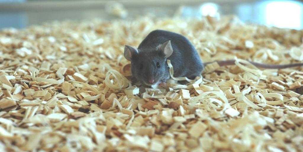 PolyGene C57BL/6 mice