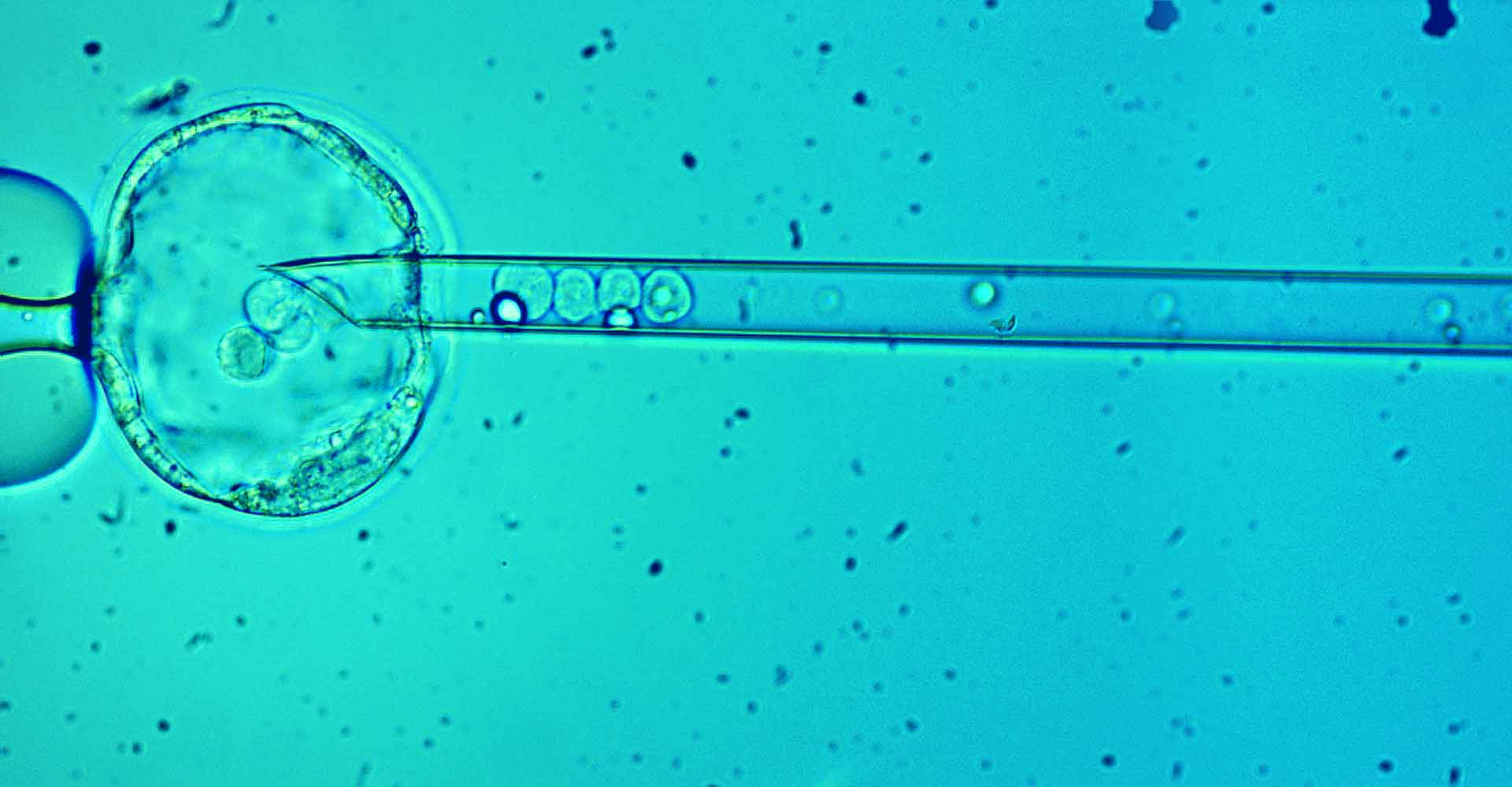 Zoom in of Blastocyst Injection by PolyGene
