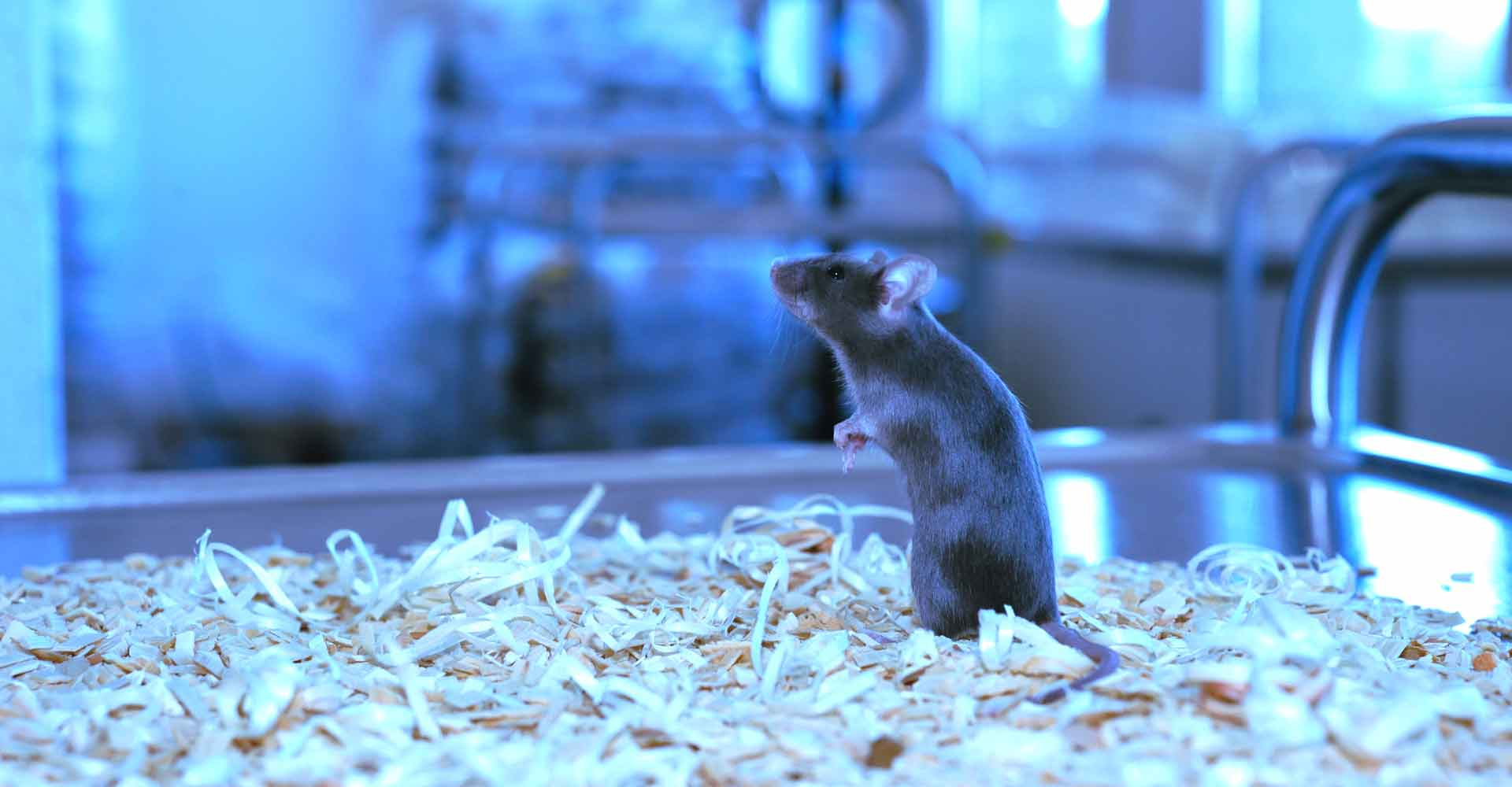Laboratory Mouse looking up at PolyGene