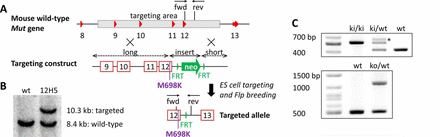 Knock-in MMAuria Mouse Model Gene Targeting Strategy