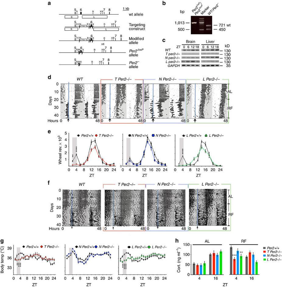 Albrecht2016 conditional mPer1 allele